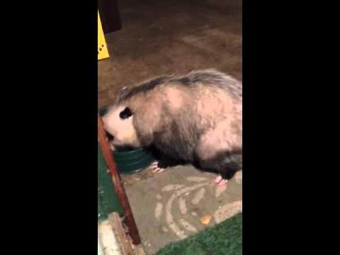 Fat possum livin large