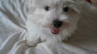 Real Life: Albi The Maltese Puppy