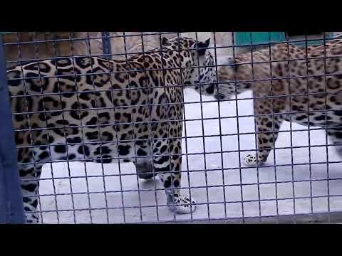 Ягуары в Тайгане