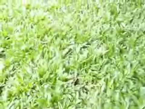Cuidado del c sped doovi for Como cuidar el pasto