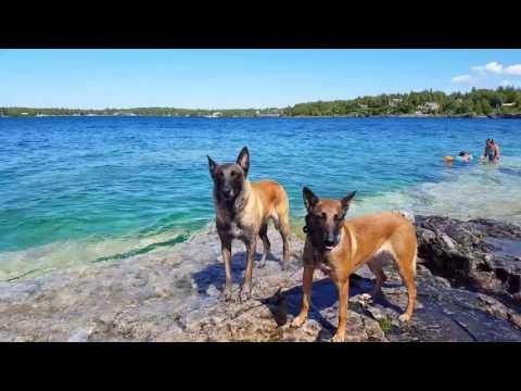 Belgian Malinois puppies upcoming litter Sept 2017