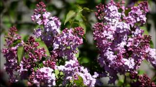 The Lilac Flowers
