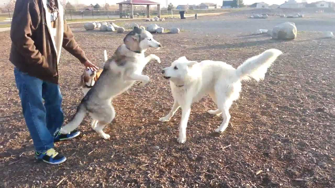 Husky Vs Wolf Hybrid Youtube