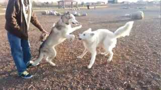 Husky vs. Wolf Hybrid