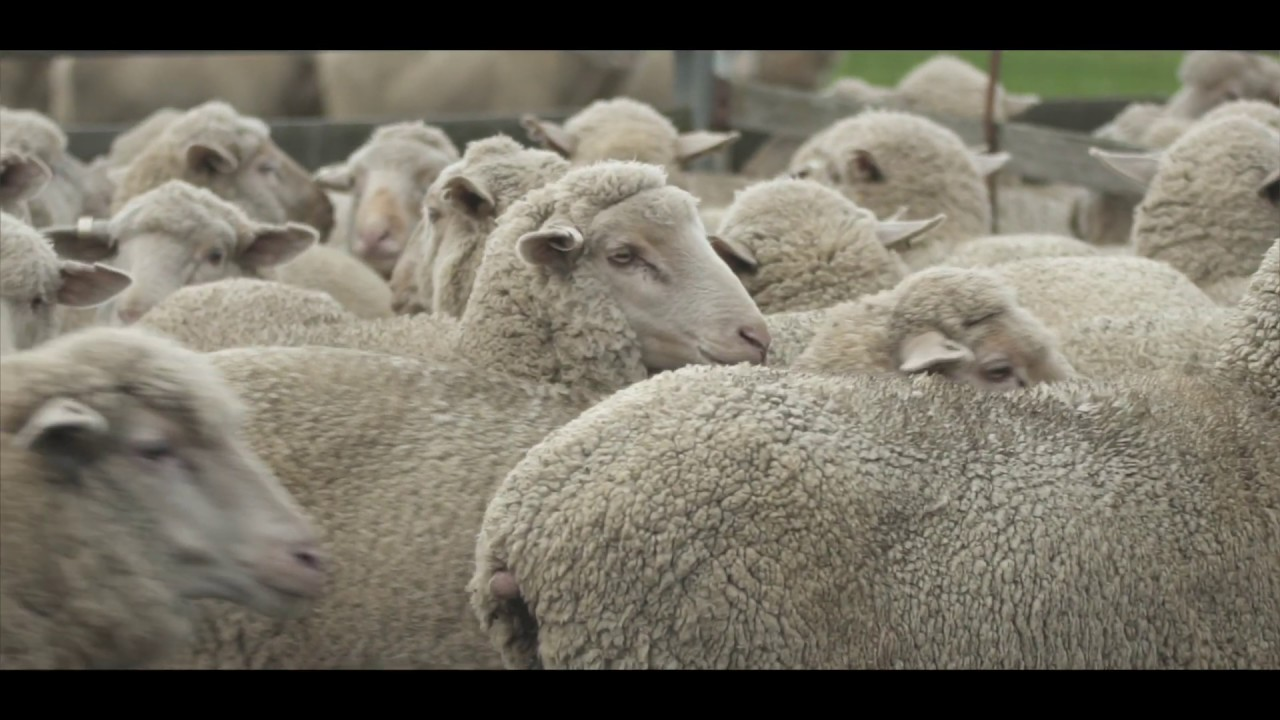 New on-farm technology for sheep producers | Agriculture and