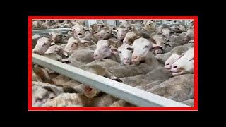 Australie. Des dizaines de milliers moutons agonisaient sur le cargo
