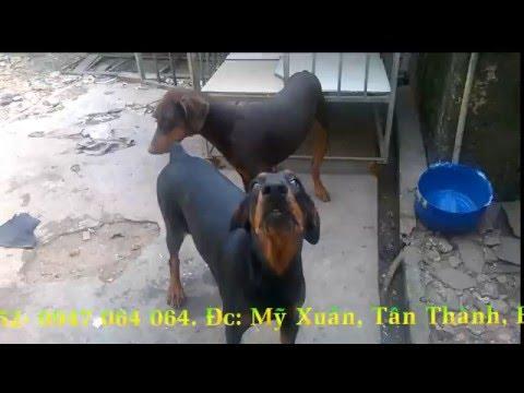 bán cặp chó doberman trưởng thành Vũng Tàu - 0932152152 -Trại chó Minh Hiếu -