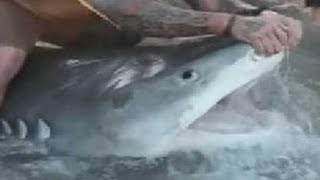 Texas Style Shark Week: Huge 12 ft. Tiger Shark Caught On Texas Beach