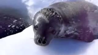Плавающий тюлень