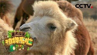 [正大综艺·动物来啦]骆驼在哪个部位储存水| CCTV