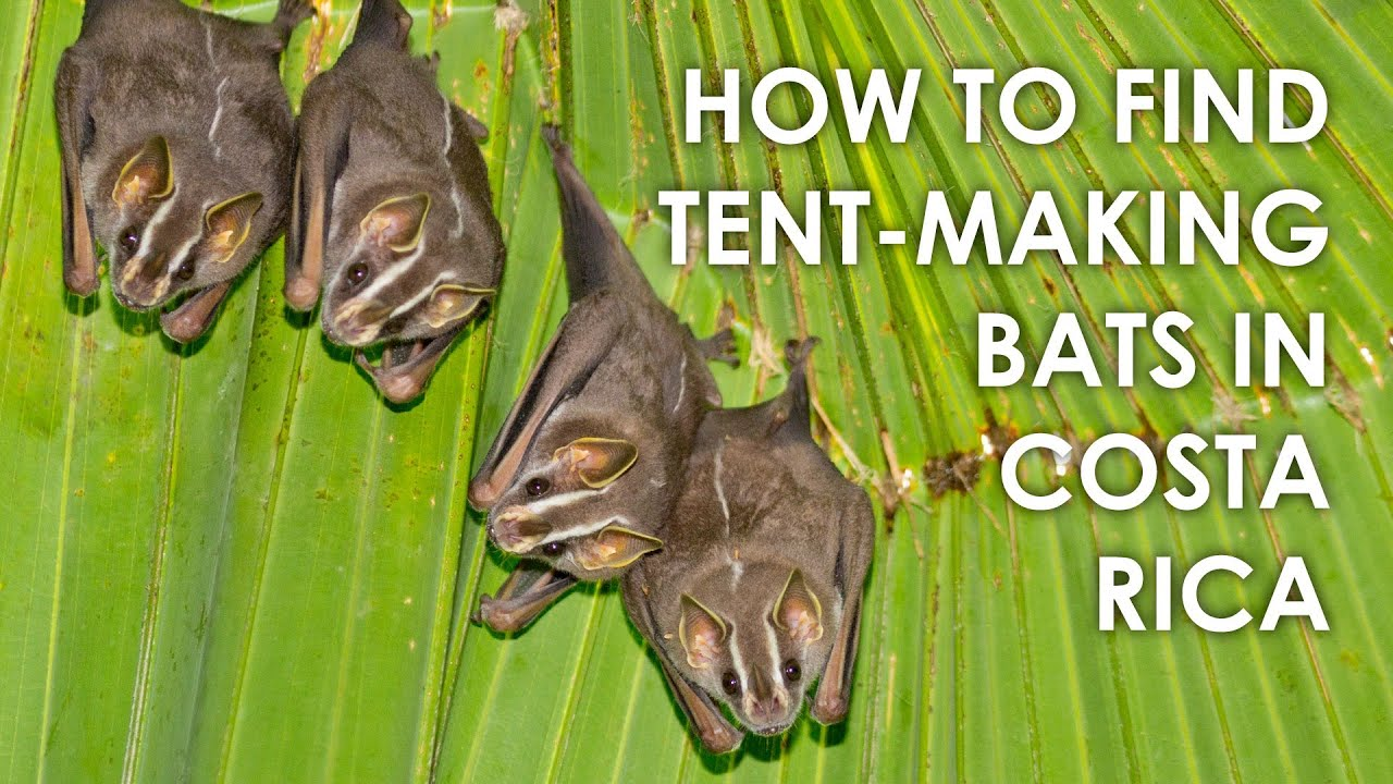 How to find Tent-making Bats in Costa Rica  sc 1 st  YouTube & How to find Tent-making Bats in Costa Rica - YouTube