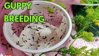 #Guppy #Breeding Setup | Home aquarium fish breeding | #Delhi | PART 2
