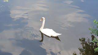 Белый лебедь на лебедином озере, гордое творение природы!