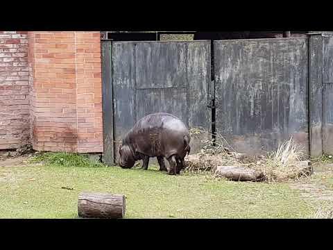 A male of Pygmy hippopotamus