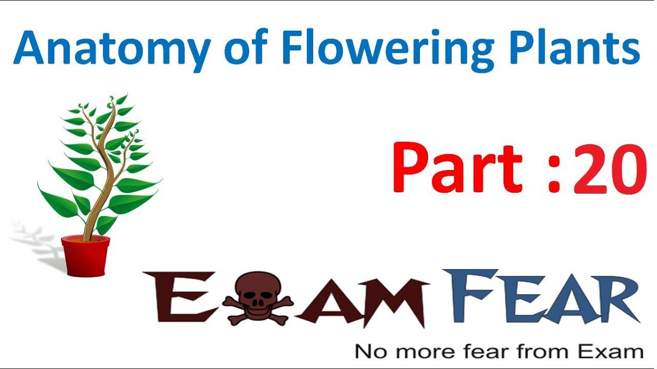 Biology Anatomy of Flowering Plants part 20 (Monocot leaf anatomy ...