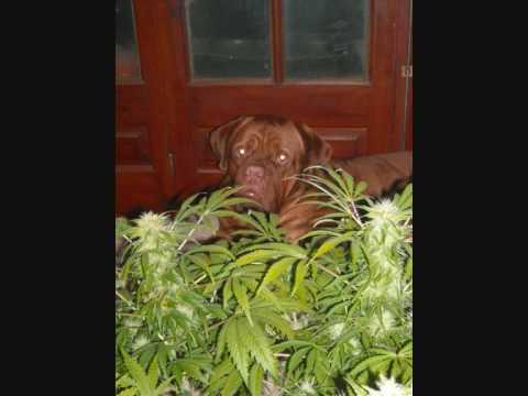 Cosecha de marihuana de interior youtube for Produccion marihuana interior