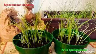Практические советы по уходу за рассадой лука. Стрижка, подкормка, полив. Лук-севок до посадки