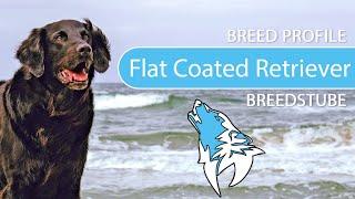 Flat Coated Retriever Breed, Temperament & Training