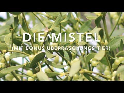 Die Mistel (Viscum album) - Pflanzlicher Parasit