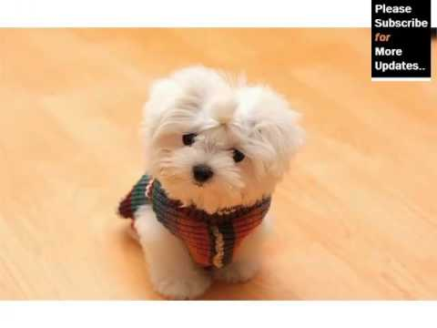 maltese dog. maltese dog breed | type set of picture ideas