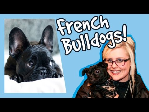 Everything you Need to Know about French Bulldogs! Behaviours, Characteristics and more!