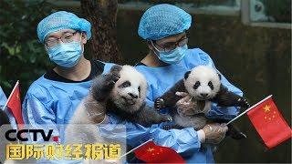 [国际财经报道]四川:超萌天团!2019级7只新生大熊猫齐亮相| CCTV财经