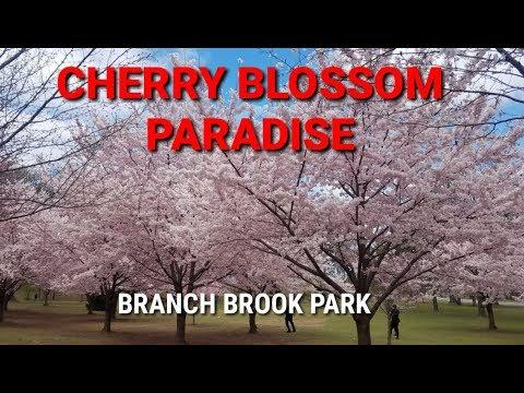 Cherry Blossom Paradise - Branch Brook Park, Newark, NJ