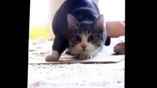 Кот танцует под музыку , trap cat