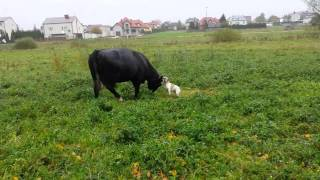 French Bulldog Vs Cow
