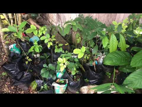 DIFFERENT KINDS OF FRUIT TREES READY TO PLANT | FARMING IN BOHOL PHILIPPINES