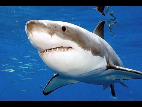 برنامج-وثائقي-حول-سمك-القرش