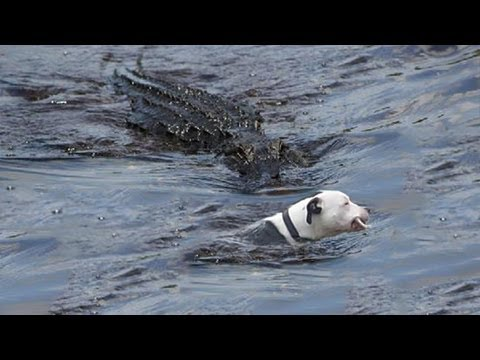 ALLIGATOR TAKES BULLDOG