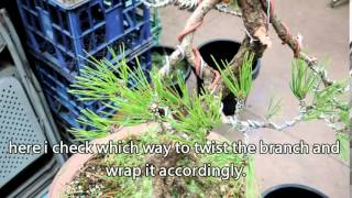 wiring japanese black pine branches