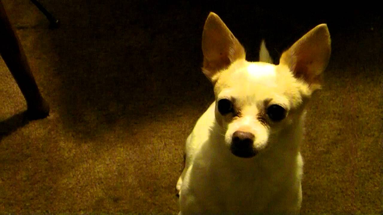 chico the mexican rat dog - youtube