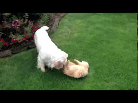 Bear the Cat playing with Clumber Spaniel