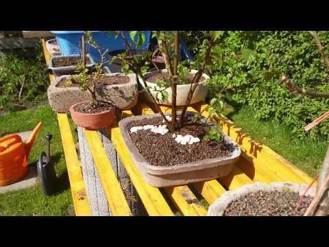 Bonsai selber machen, Ameisen und die Birke, Entwicklung eines Yamadori´s