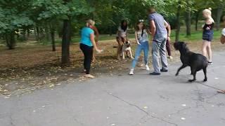 Бой питбультерьеров без намордников в общественном парке.