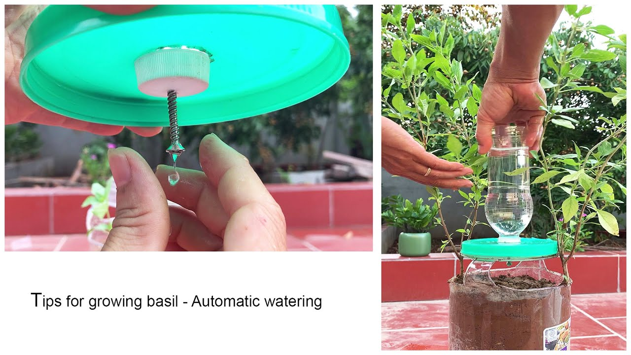 Tips for growing basil   Automatic watering