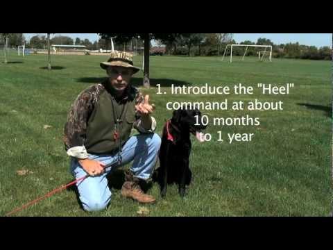 Heel: Retriever Training for Hunters: (part 8).mov