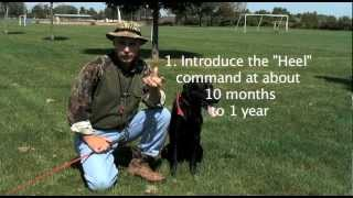 Heel: Retriever Training For Hunters: (part 8).mov