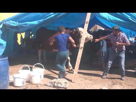Kurbanlık 'Polat' ve 'Cahit' alıcılarını bekliyor