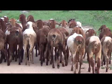 Goat Farming In Villages | Cute Black Baby Goats Compilations Funny Indian Sheep