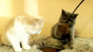 Голубая и кремовая с белым британские котята девочки