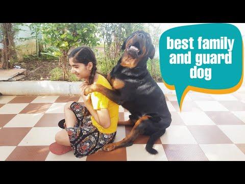 Fully trained Rottweiler dog ||best protection dog breed||15 dog skills.