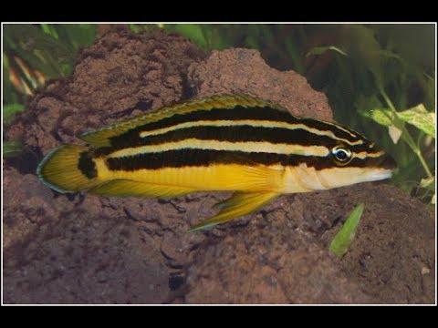 Julidochromis Ornatus With Fry (Tanganyika Fish)