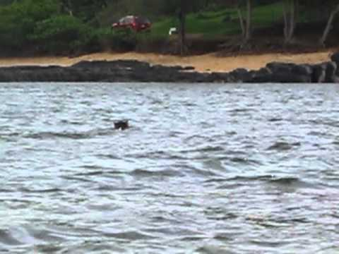 Wild boar swimming across ocean bay while kayaking