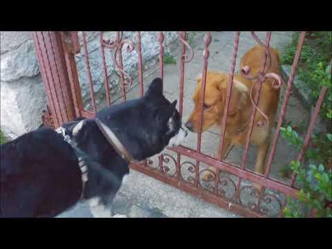 Alaskan Malamute tries to free a Golden Retriever