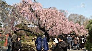 Цветущая сакура украсила ботанический сад в Нью-Йорке (новости)(http://ntdtv.ru/ Цветущая сакура украсила ботанический сад в Нью-Йорке Бруклинский ботанический сад в Нью-Йорке..., 2015-04-24T12:34:44.000Z)