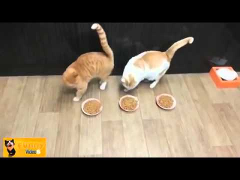Vicces cicás videó összeállítás - 60 perc | HD letöltés