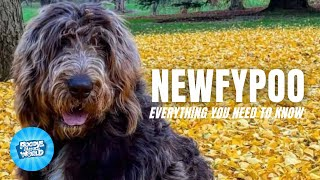 Newfypoo Dog Breed Information  The Poodle Hybrids with the Golden Heart   Newfypoo Dogs 101